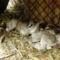 Lujzi kecske 4-es ikrei a Berényben, születésük után 1 nappal