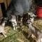 Lujzi kecske 4-es ikrei a Berényben, születésük után 1 órával