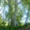 Gyönyörű platánfa Márialiget térségében, 2014. május 20.-án