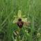 Pókbangó (Ophrys sphegodes) 1