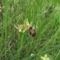 Pókbangó (Ophrys sphegodes) 2