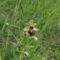 Pókbangó (Ophrys sphegodes) 3