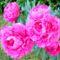 Pünkösdi_rózsa