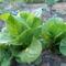 Római saláta...nyáron