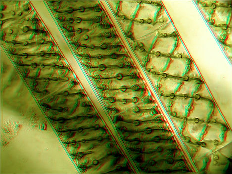 Fonalas alga 2 (Anaglif)