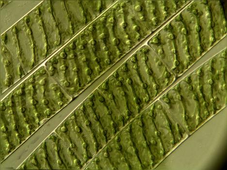 Fonalas alga 3