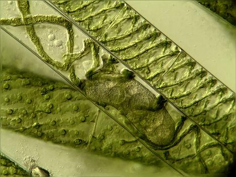 Fonalas alga 4