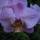 Phalaenopsis_hibrid_2_1853585_8946_t