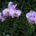 Phalaenopsis_hibrid_3_1853586_9280_t