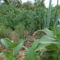 Zöldséges kert júniusban.