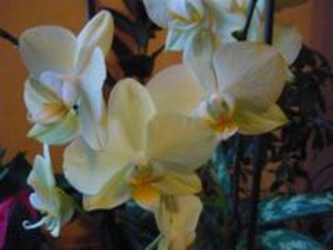 Sárga Orhidea