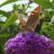 Pillangó, nyári orgonán