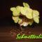 Sárga virágzó Bonsai
