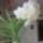 Vanda_hibrid_1862667_3526_t