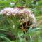 Bodó rét  -  csíkos medvelepke