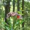 Bodó-rét csíkos medvelepke