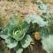 Káposzta és brokkoli