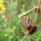 Sarjános-rét tüzes tarkalepke