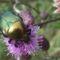 Kéked felé Árenda rététn aranyos rózsabogár