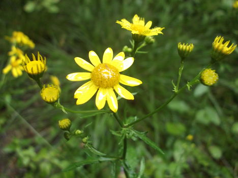 Kéked felé Árenda rététn sárga virág