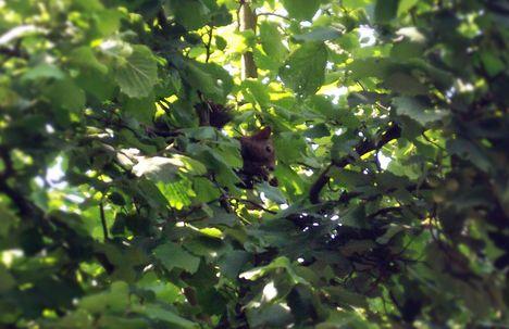 fekete mókus