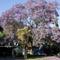 Virágzó jacaranda
