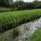 Igrice-csatorna virágkáka imbolygó békaszőlővel