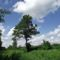 magányos fa az Igricén
