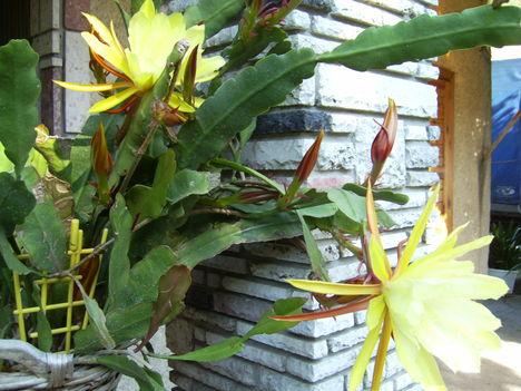 Csoda kaktusz