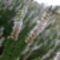 A Tuzson Botanikus kert fehér virág