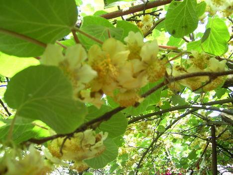 Kivi virágzása
