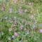 Csillagvirágok P1150864