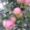 Érésben levő alma