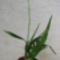 Oncidium hybrid 2