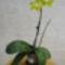 Lepkeorchidea hibrid (Phalaenopsis hybrid) 1