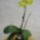 Lepkeorchidea_hibrid_phalaenopsis_hybrid_1_1874951_7616_t