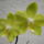 Lepkeorchidea_hibrid_phalaenopsis_hybrid_2_1874952_4235_t