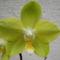 Lepkeorchidea hibrid (Phalaenopsis hybrid) 3