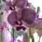 Phalaenopisis hibrid,lepkeorchidea