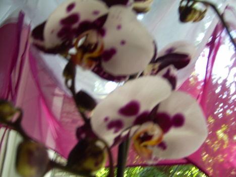 Phalaenopsis hibrid, lepkeorchidea