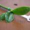 Az elnyílt, és lemetszett virágszáron fejlődő bébi
