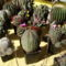 kaktuszok (13)