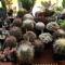 kaktuszok (17)