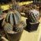 kaktuszok (2)