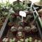 kaktuszok (6)