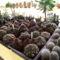 kaktuszok (7)