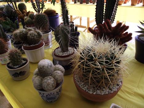 kaktuszok (8)
