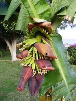 Banán  2