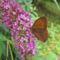 Kis szénalepke Tuzson Botanikus kert