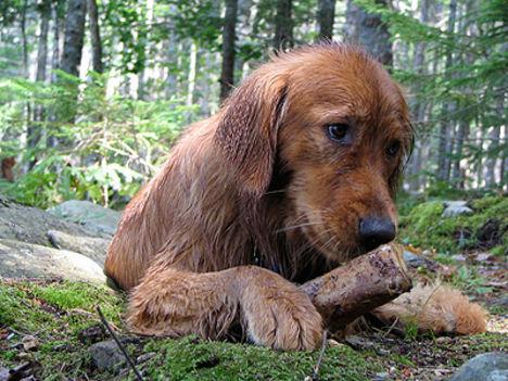 Kobor kutya (szegény)
